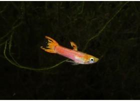 Guppy endler, Pink, 1cm, Mâle