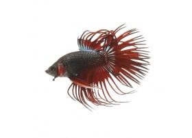 Combattant, Crowntail rouge, 5-6cm, Mâle