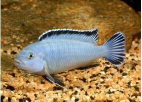 Pseudotropheus socolofi, Bleu, 7 à 8cm