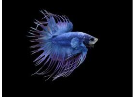 Combattant, Crowntail blue, 5-6cm, Mâle