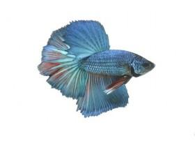 Combattant, Super delta turquoise, 5-6cm, Mâle