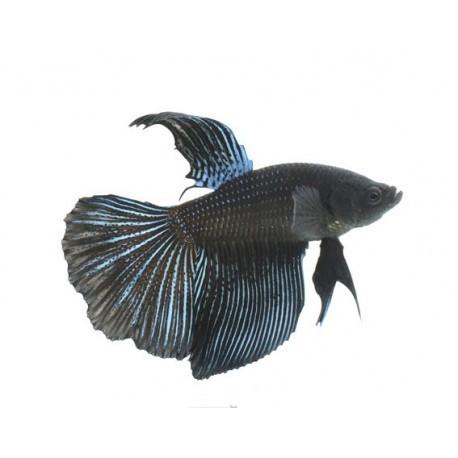Combattant, Super delta noir, 5-6cm, Mâle