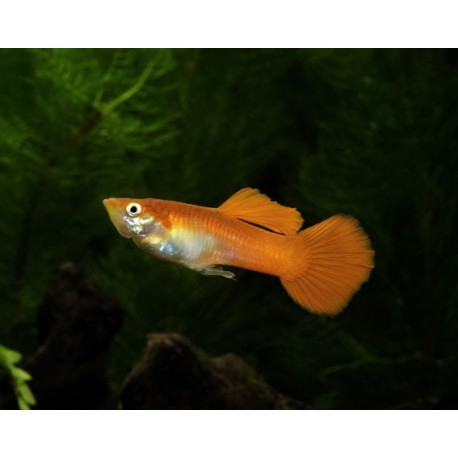 Guppy, Orange, 4,5-5cm, Mâle