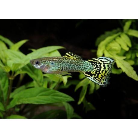 Guppy, Cobra vert, + de 4,5cm, Mâle