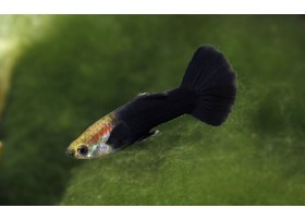 Guppy, Noir, + de 4cm, Mâle