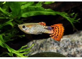 Guppy, Cobra rouge, 3,5-4cm, Mâle