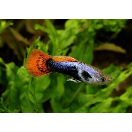 Guppy, violet, rouge, noir, 3,5-4cm, Mâle