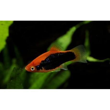 Platy, Texudo rouge, 3,5-4cm