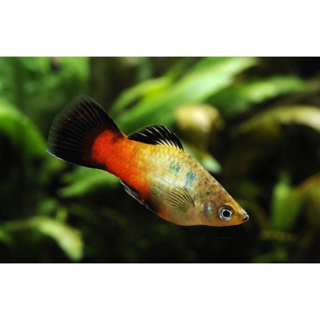 Platy, Wagtail rainbow, 4-5cm