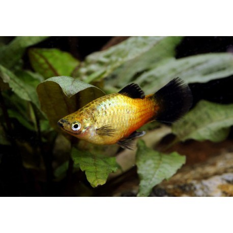Platy, Wagtail sunset, 3-3,5cm