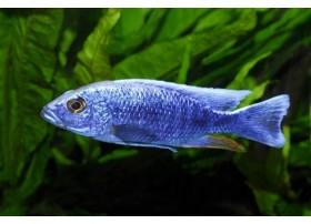 Haplochromis bleu électrique, bleu, 6-7cm