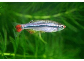 Tanichthys micagemmae, Doré. noir et rouge, 1 à 2cm
