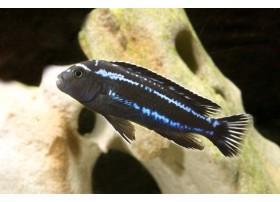Maingano, Bleu, 4-5cm