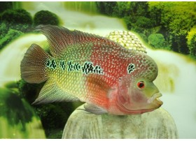 Flowerhorn Green-red, Green-red, 5-6cm