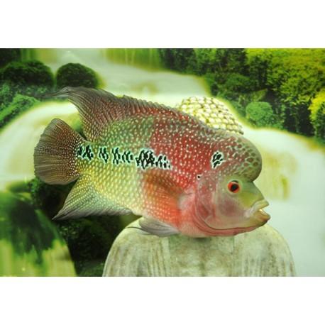Flowerhorn Green-red, Green-red, 5-6cm