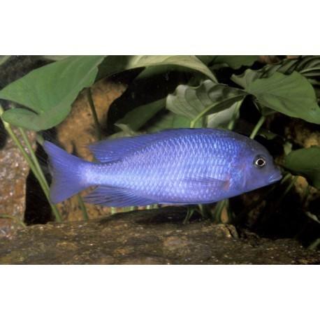 Haplochromis moorii, poisson Dauphin, Bleu, 5-6cm