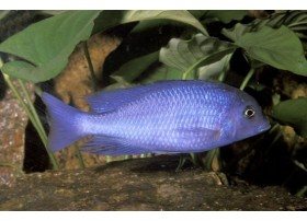 Haplochromis moorii, poisson Dauphin, Bleu, 8-9cm
