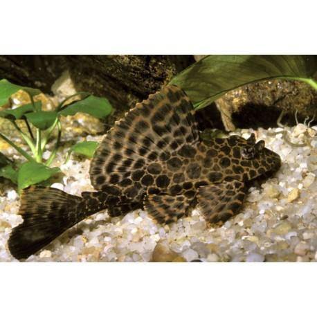 Pleco léopard, pleco voile, Brun à tâches brunes plus foncées, 4-5cm