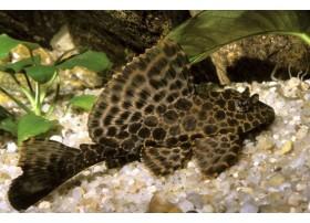 Pleco léopard, pleco voile, Brun à tâches brunes plus foncées, 5-6cm