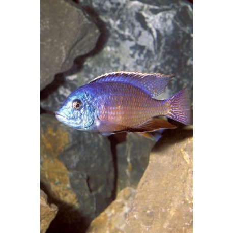Namalenje, Red empress, Bleu et rouge, 6-7cm