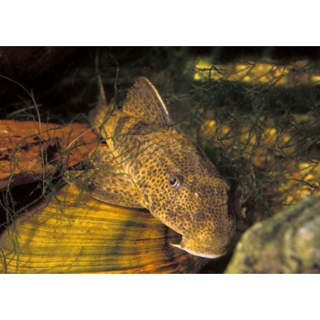 Pleco commun, Gris foncé et brun, 5-6cm