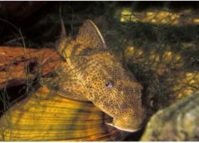 Pleco commun, Gris foncé et brun, 6-7cm