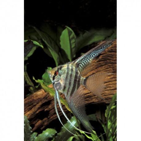 Scalaire , Zebra, 3-4cm