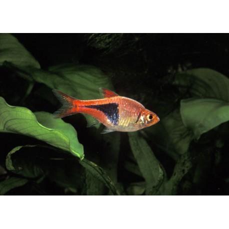 Rasboras arlequin, Rouge orangé , 2-2,5cm