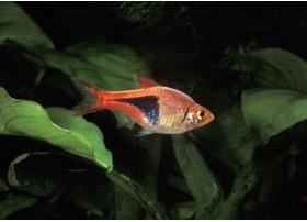 Trigonostigma heteromorpha - 3.5-4cm