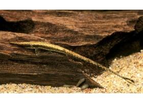 Silure aiguille, poisson brindille, Brun, 8-12cm
