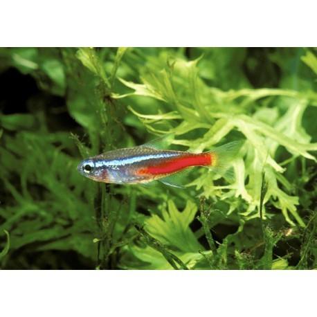Neon Diamant, Bleu et rouge, 1,5-2cm