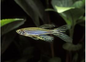 Poisson zèbre, Bleu avec des lignes horizontales dorées, 2-3cm