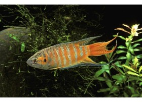 Poisson-paradis, Brun et orange, 4-5cm