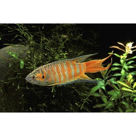 Poisson-paradis, Brun et orange, 5-6cm