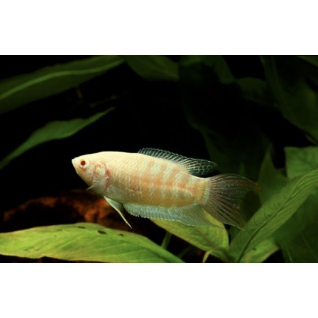 Poisson-paradis, Albinos, 2-4cm