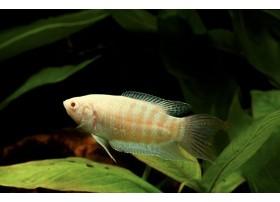 Poisson-paradis, Albinos, 5-6cm
