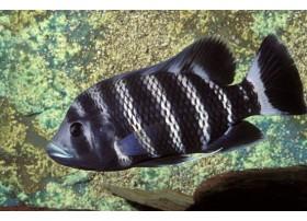 Tilapia buttikoferi, Blanc et noir, 4-5cm