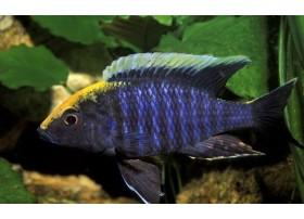 Sulfurhead, Brun, bleu et jaune, 6-7cm