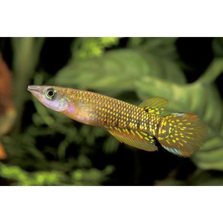 Panchax doré, Doré, 4-5cm