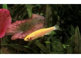Poisson zèbre, Doré, 2,8-3cm