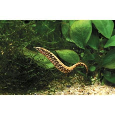 Anguille épineuse à ceinture, Léopard , 7-9cm
