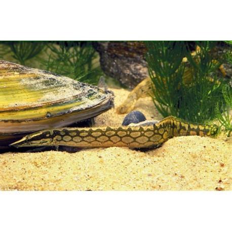 Anguille épineuse géante, Moucheté brun, 9-12cm