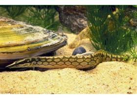 Anguille épineuse géante, Moucheté brun, 12-15cm