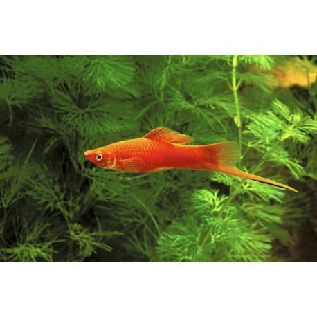 Xipho, Porte-épée, Rouge, 5-6cm