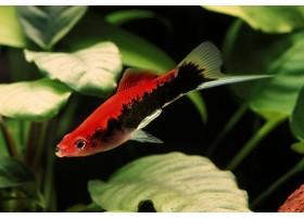 Xipho, Porte-épée, Tuxedo rouge, 4-5cm