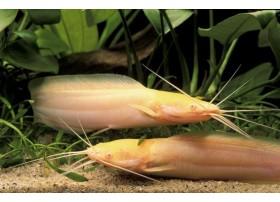 Silure grenouille, Albinos