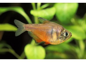 Tetra de Rio, Orange, 2-2,5cm