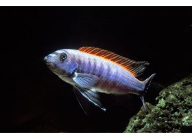 Tropheus de trewavas, Red top, 4-5cm