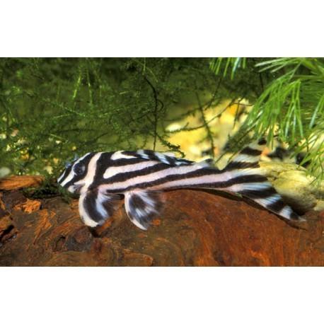 Pléco zébré, L046, Blanc et noir, 7-8cm