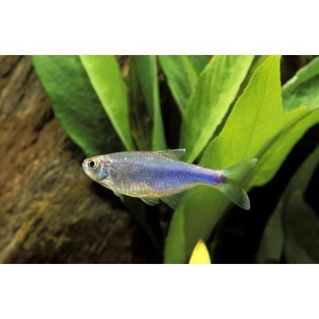 Tetra bleu de Cochu, Bleu, 2,5-2,8cm